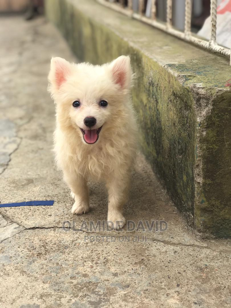 1-3 Month Male Purebred American Eskimo | Dogs & Puppies for sale in Alimosho, Lagos State, Nigeria