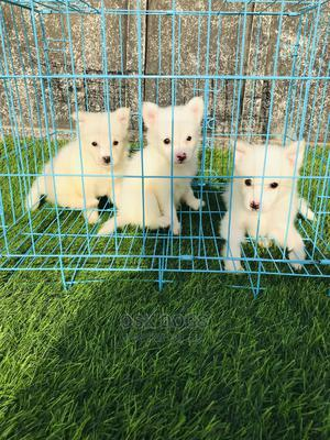 1-3 Month Female Purebred American Eskimo | Dogs & Puppies for sale in Lagos State, Ikorodu
