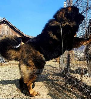 1+ Year Male Purebred Caucasian Shepherd   Dogs & Puppies for sale in Delta State, Oshimili South
