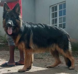 1+ Year Male Purebred German Shepherd   Dogs & Puppies for sale in Delta State, Oshimili South