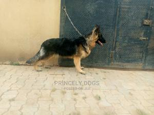 1+ Year Female Purebred German Shepherd   Dogs & Puppies for sale in Delta State, Oshimili South
