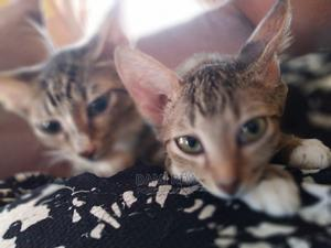 3-6 Month Female Purebred American Shorthair   Cats & Kittens for sale in Abuja (FCT) State, Apo District