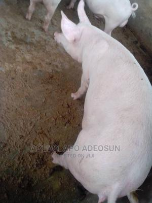 Gilt (Pig) | Livestock & Poultry for sale in Osun State, Egbedore