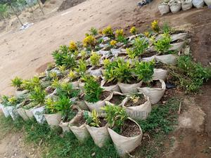 Beautiful Plants Available for Sale and Are Also Affordable | Feeds, Supplements & Seeds for sale in Abuja (FCT) State, Wuse