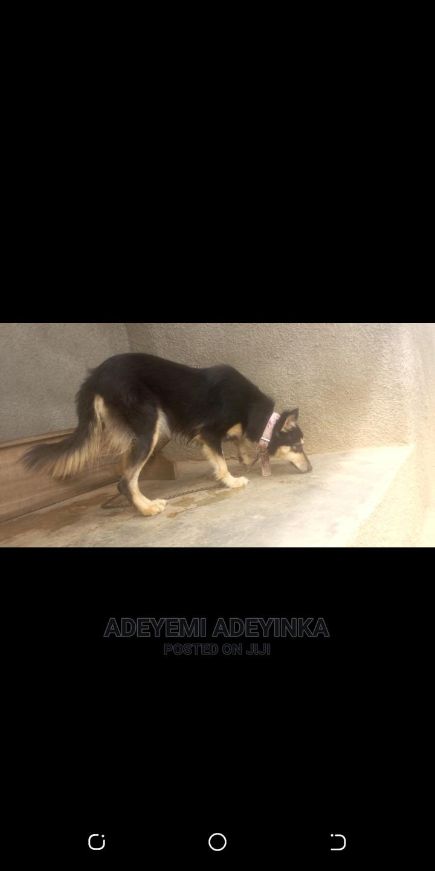 1+ Year Female Purebred German Shepherd   Dogs & Puppies for sale in Ilorin South, Kwara State, Nigeria