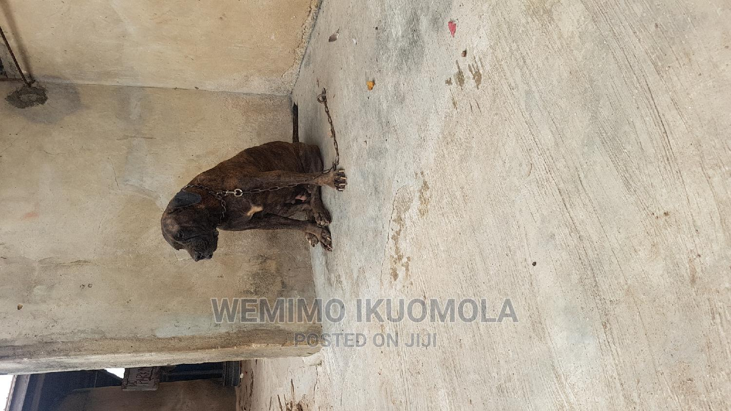 1+ Year Female Purebred Boerboel   Dogs & Puppies for sale in Ikeja, Lagos State, Nigeria