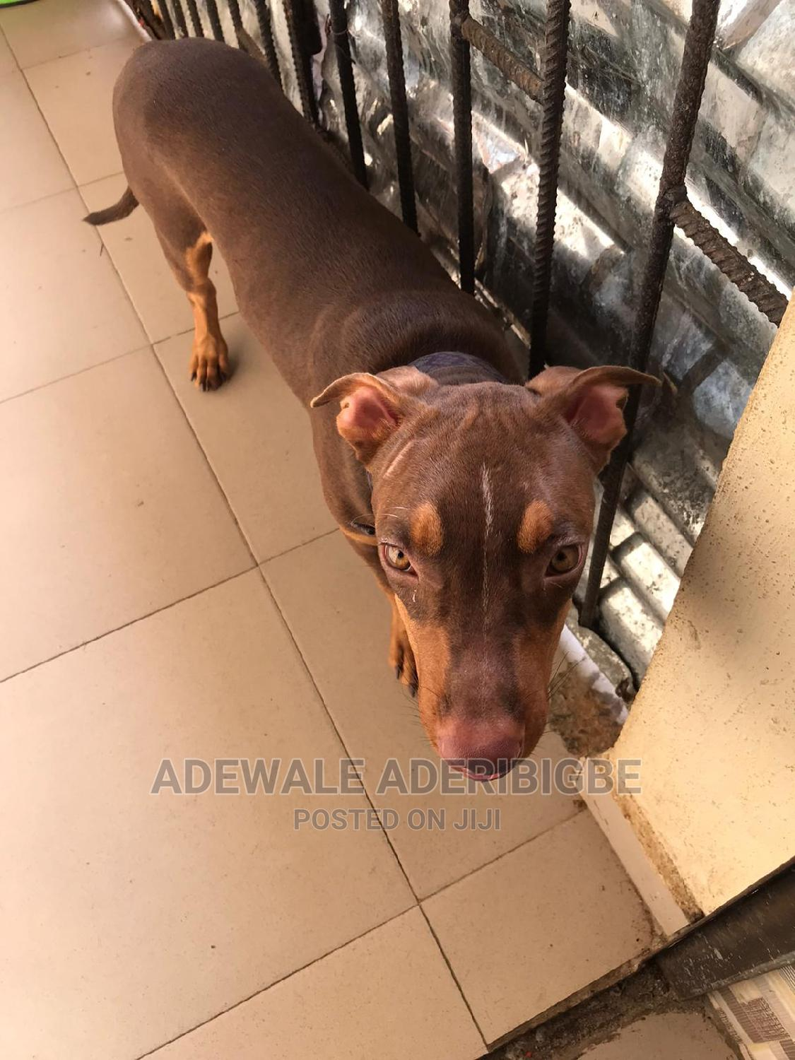Archive: 3-6 Month Male Purebred American Pit Bull Terrier