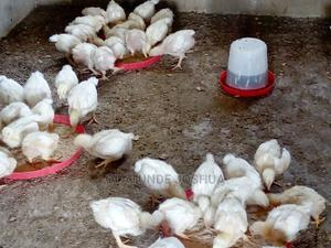 4weeks Broiler for Sale | Livestock & Poultry for sale in Oyo State, Ibadan