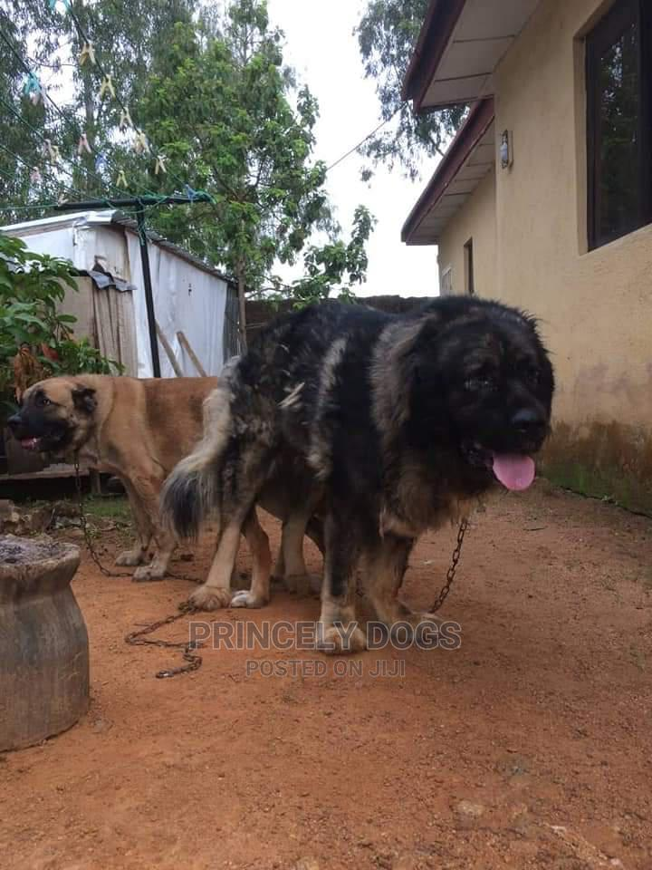1-3 Month Female Purebred Caucasian Shepherd   Dogs & Puppies for sale in Oshimili South, Delta State, Nigeria