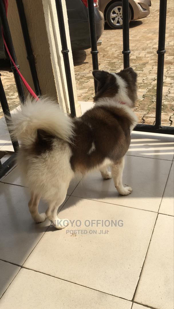 1+ Year Male Purebred American Eskimo | Dogs & Puppies for sale in Benin City, Edo State, Nigeria