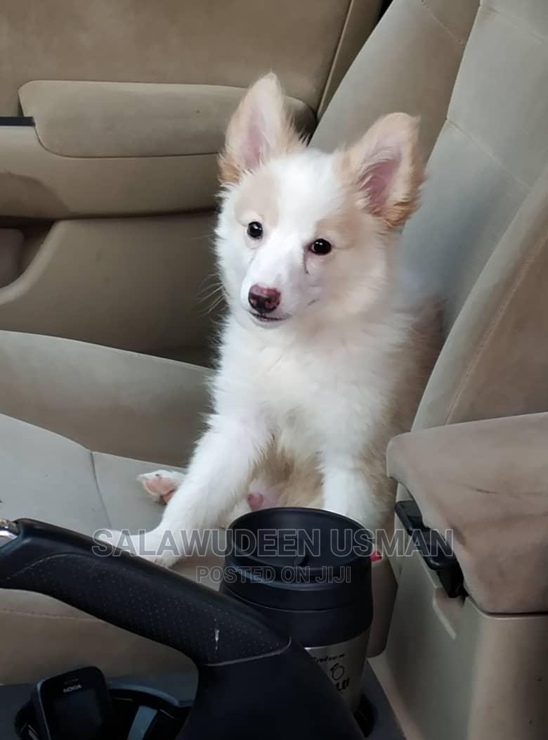 3-6 Month Male Purebred American Eskimo | Dogs & Puppies for sale in Akure, Ondo State, Nigeria
