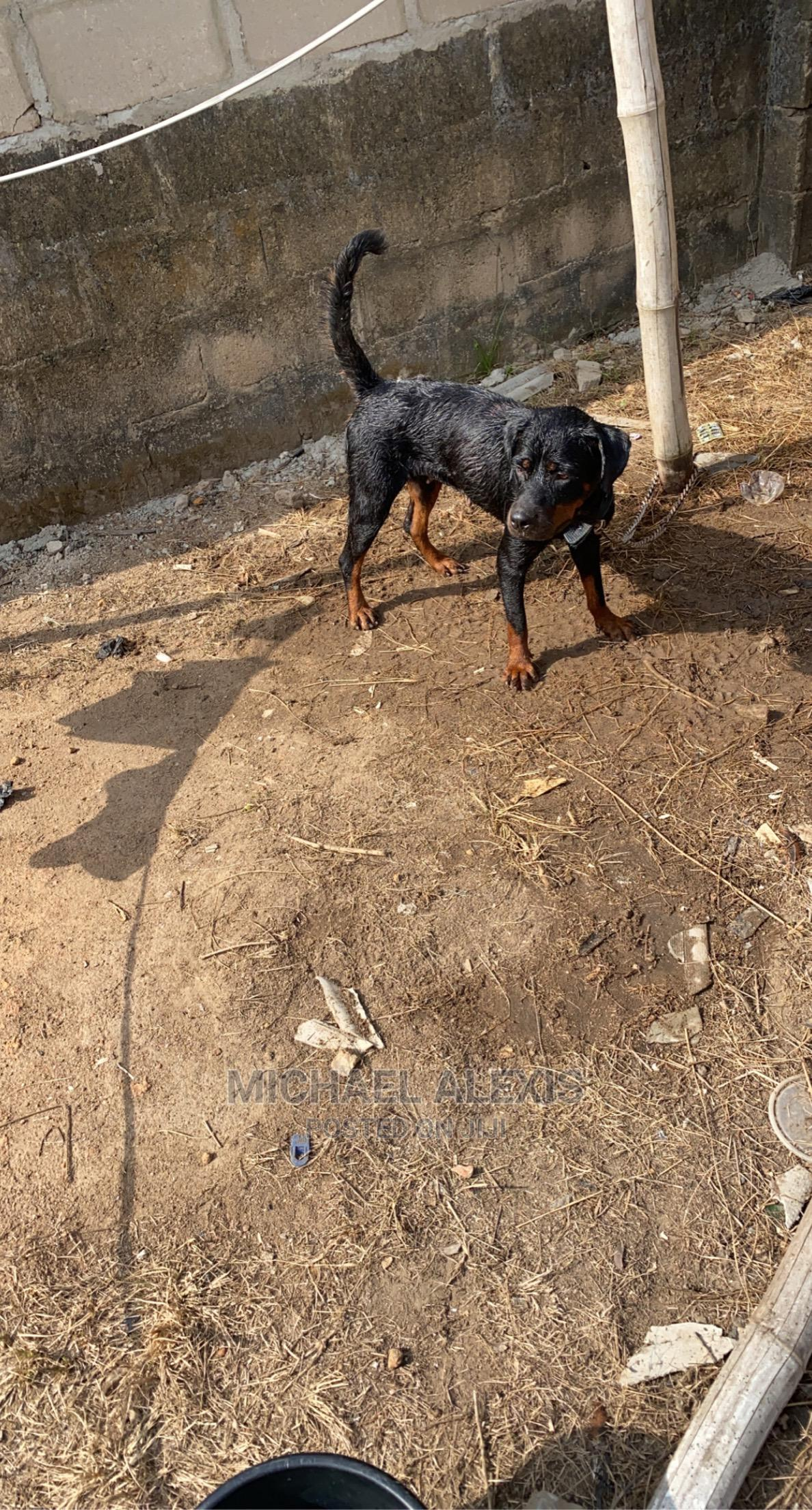 1+ Year Female Purebred Rottweiler | Dogs & Puppies for sale in Agboyi/Ketu, Lagos State, Nigeria