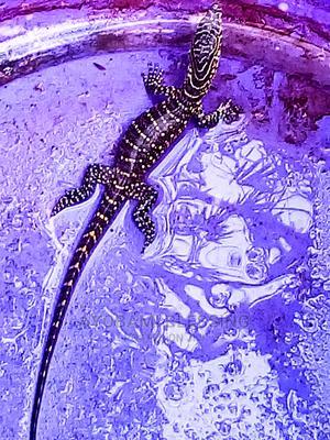 Mature Alligator | Reptiles for sale in Oyo State, Ibadan