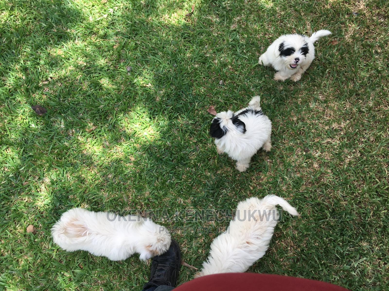 1+ Year Male Purebred Lhasa Apso | Dogs & Puppies for sale in Asokoro, Abuja (FCT) State, Nigeria