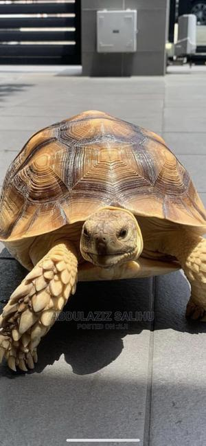 Exotic Tortoise | Reptiles for sale in Rivers State, Port-Harcourt