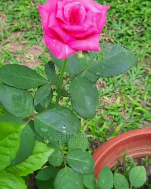 Potted Rose Plant | Feeds, Supplements & Seeds for sale in Lagos State, Ajah