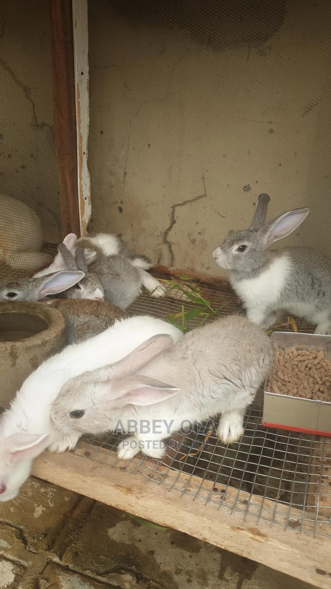 Archive: New Zealand Rabbits