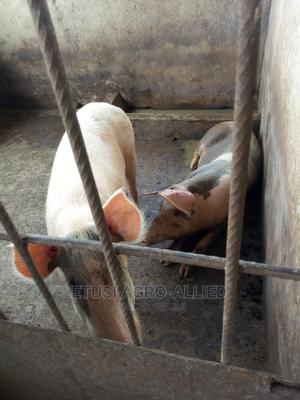 Pregnant Sow For Sale   Livestock & Poultry for sale in Oyo State, Ido