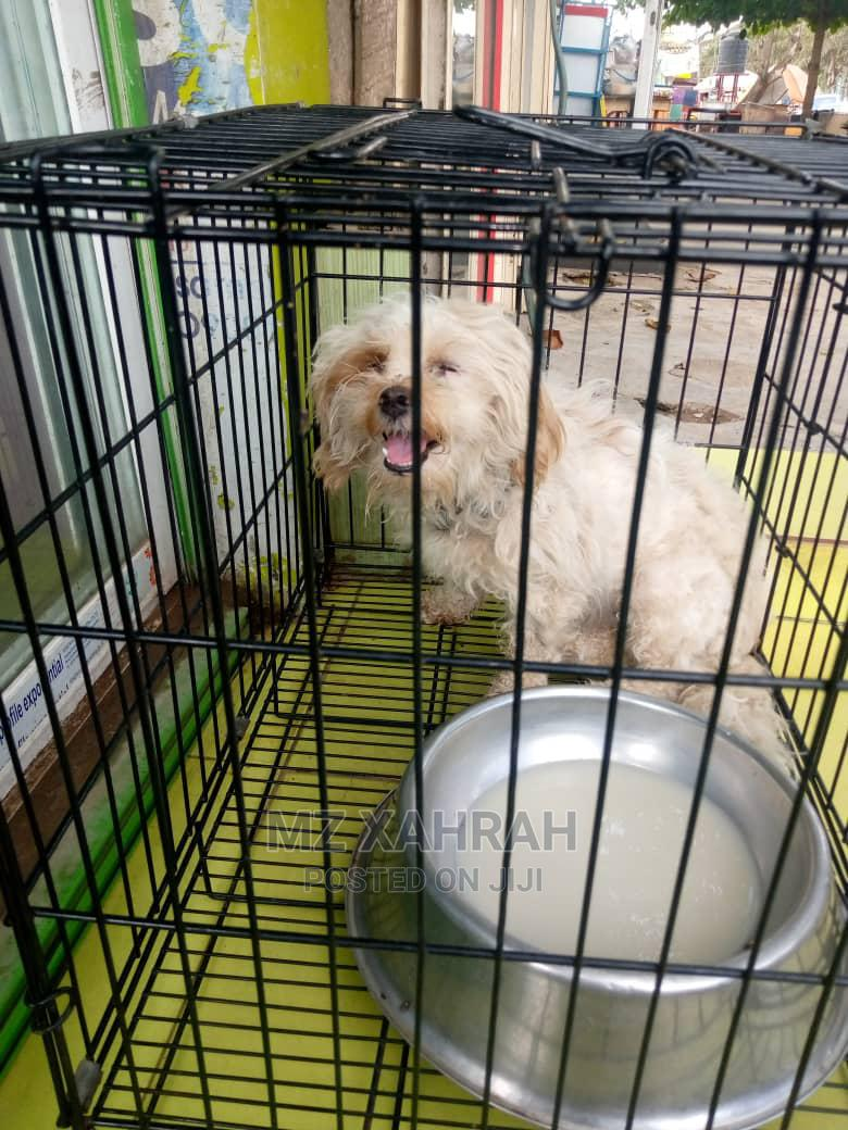 Archive: 1+ Year Female Purebred Lhasa Apso
