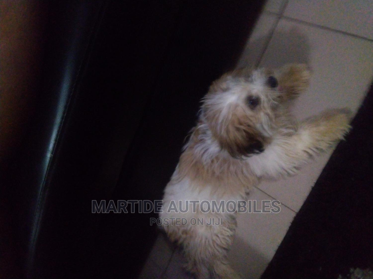 3-6 Month Male Mixed Breed Lhasa Apso | Dogs & Puppies for sale in Galadimawa, Abuja (FCT) State, Nigeria