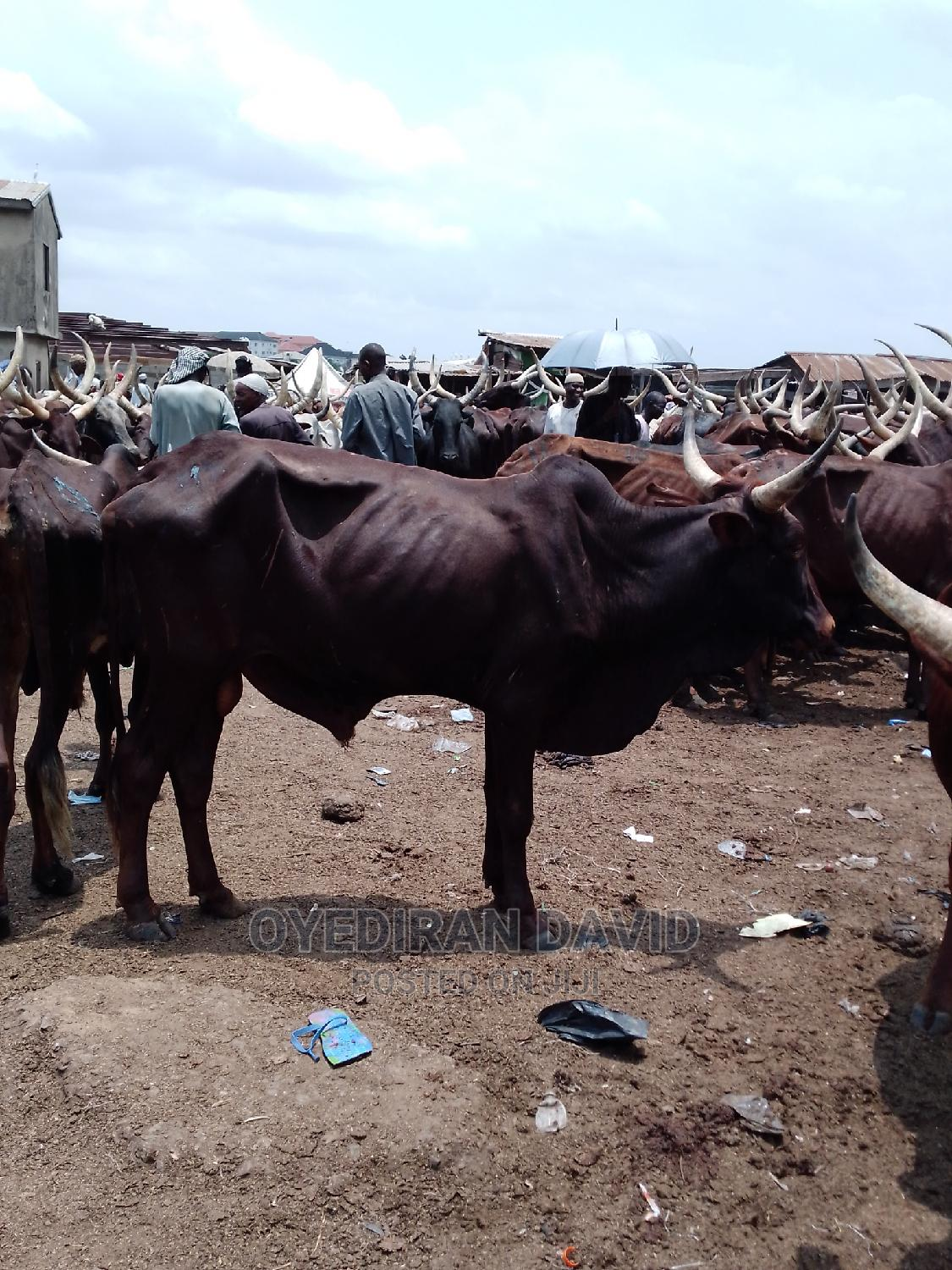 We Have Cheapest Healthy Cows | Livestock & Poultry for sale in Surulere, Lagos State, Nigeria