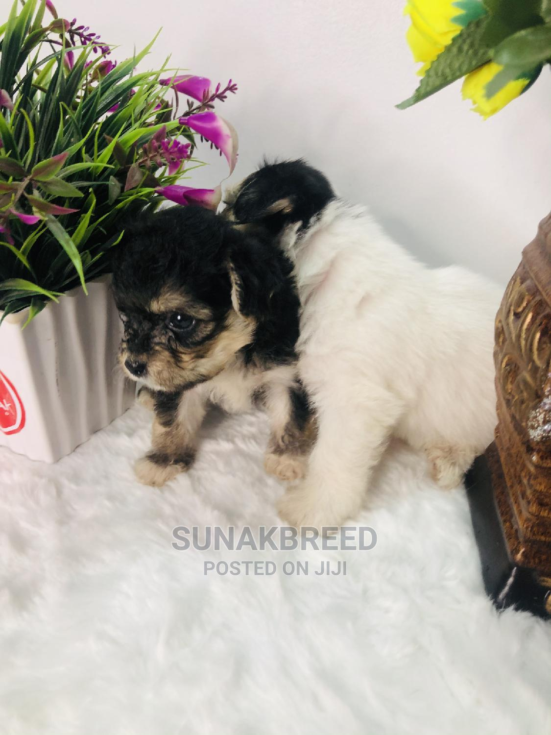 0-1 Month Male Purebred Lhasa Apso | Dogs & Puppies for sale in Lekki, Lagos State, Nigeria