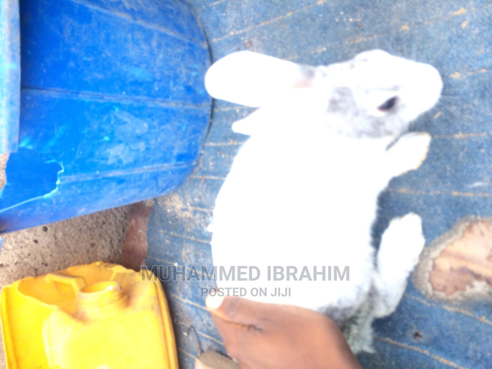 Pregnant Dutch | Other Animals for sale in Ilorin West, Kwara State, Nigeria