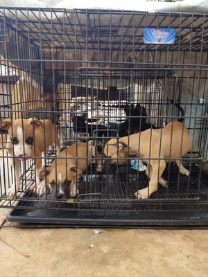 1-3 Month Male Purebred American Pit Bull Terrier | Dogs & Puppies for sale in Lagos State, Ikorodu