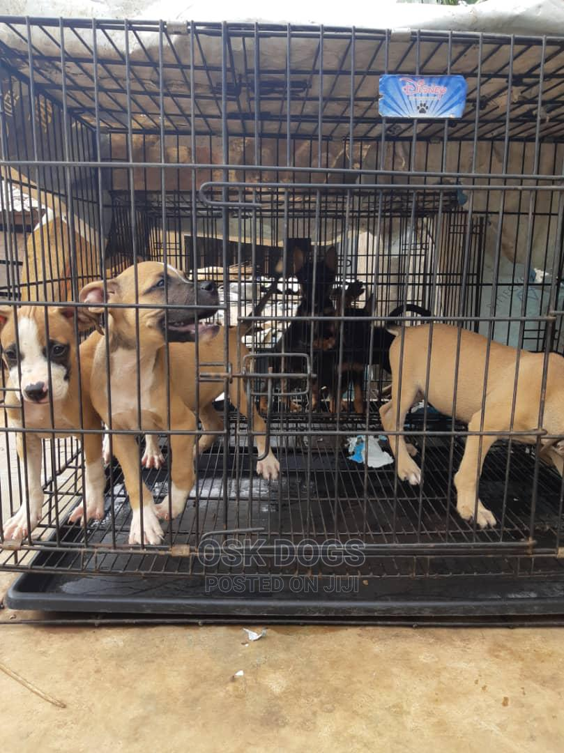 1-3 Month Male Purebred American Pit Bull Terrier   Dogs & Puppies for sale in Ikorodu, Lagos State, Nigeria