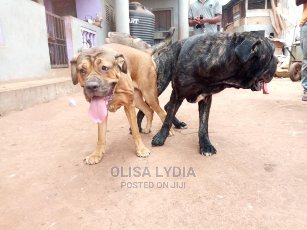 1-3 Month Male Purebred Boerboel | Dogs & Puppies for sale in Enugu, Enugu State, Nigeria