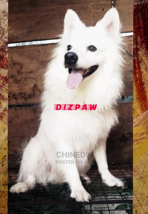 1+ Year Male Purebred American Eskimo | Dogs & Puppies for sale in Osun State, Osogbo