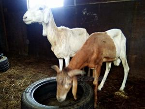 Good Breed Sheeps   Livestock & Poultry for sale in Abuja (FCT) State, Gwagwalada