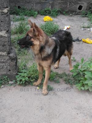 1+ Year Male Purebred German Shepherd   Dogs & Puppies for sale in Lagos State, Ojo