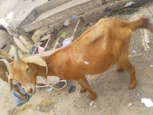 Pregnant Goat (On Request Only) | Livestock & Poultry for sale in Lagos State, Gbagada