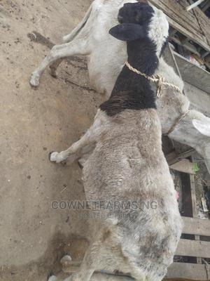 Pregnant Ewe(Sheep) for Rearing Purpose Only | Livestock & Poultry for sale in Lagos State, Gbagada