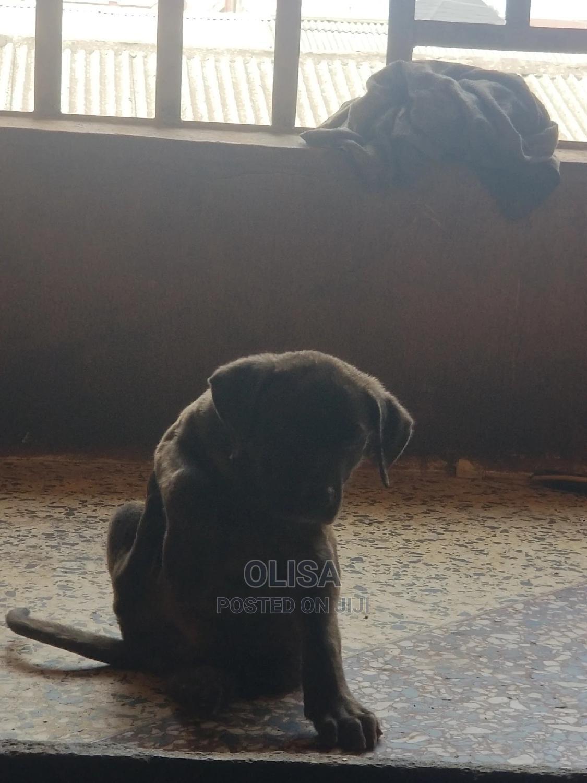 Archive: 1-3 Month Male Purebred Bullmastiff