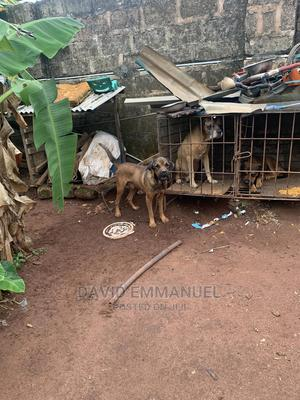 6-12 Month Male Mixed Breed Boerboel | Dogs & Puppies for sale in Edo State, Benin City