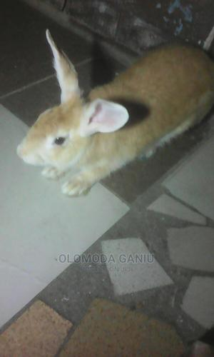 A Rabbit For Sale   Livestock & Poultry for sale in Lagos State, Surulere