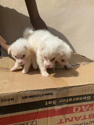 1-3 month Male Purebred American Eskimo | Dogs & Puppies for sale in Ogun State, Abeokuta North