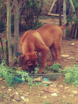 6-12 Month Male Purebred Boerboel   Dogs & Puppies for sale in Oyo State, Ibadan