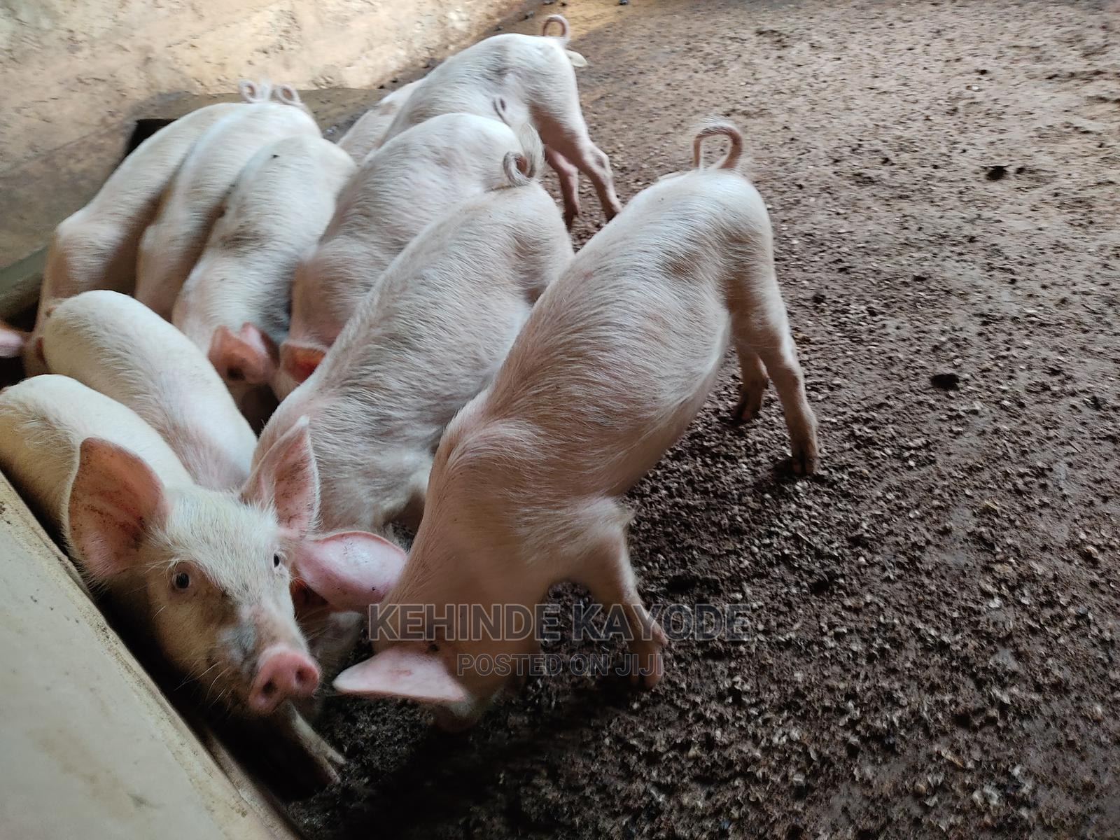 Archive: Weaners Pig for Sale