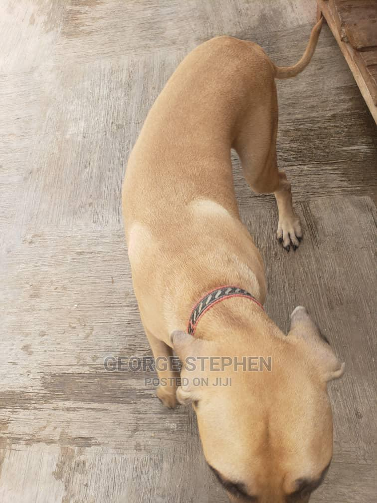 Archive: 1+ Year Male Mixed Breed Boerboel