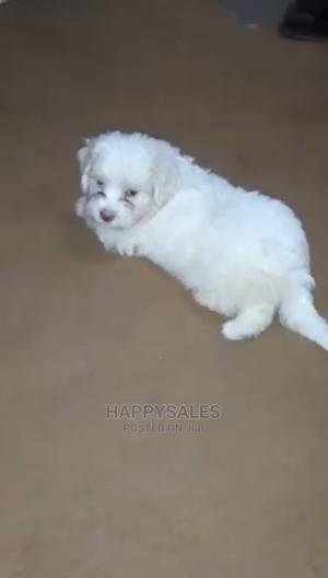 0-1 Month Female Purebred Lhasa Apso   Dogs & Puppies for sale in Lagos State, Surulere