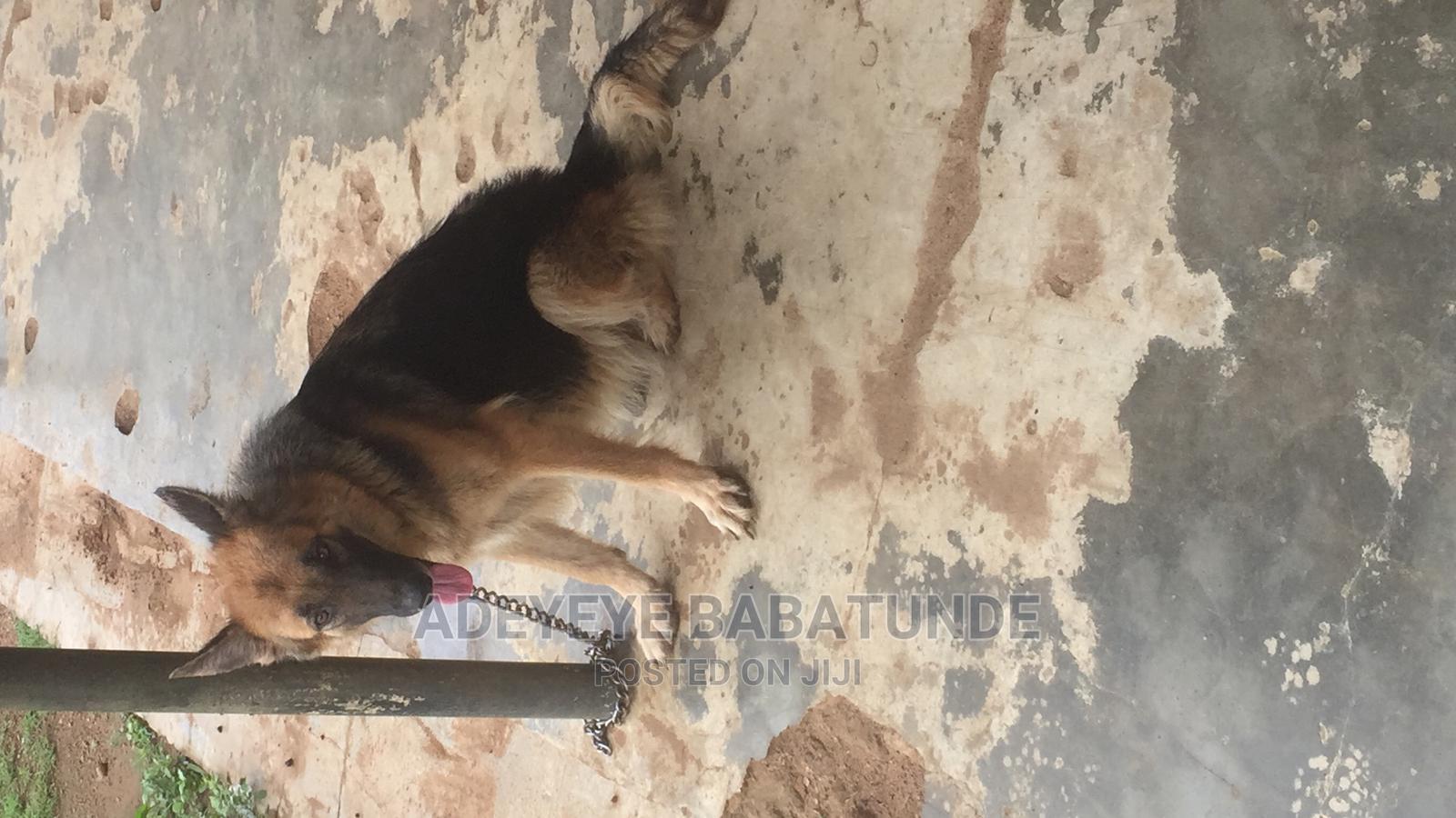 1+ Year Female Purebred German Shepherd   Dogs & Puppies for sale in Ibadan, Oyo State, Nigeria