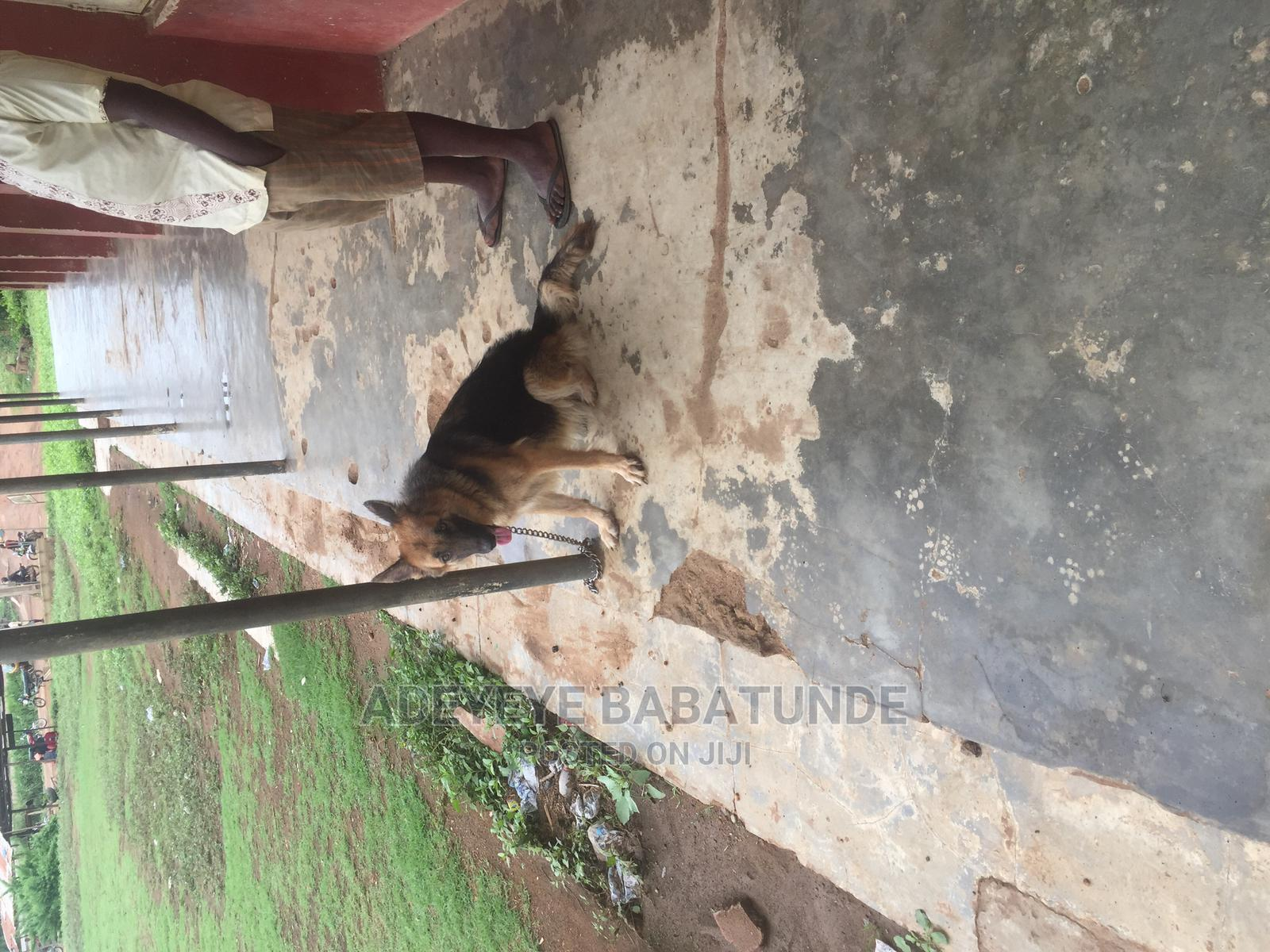 1+ Year Female Purebred German Shepherd | Dogs & Puppies for sale in Ibadan, Oyo State, Nigeria