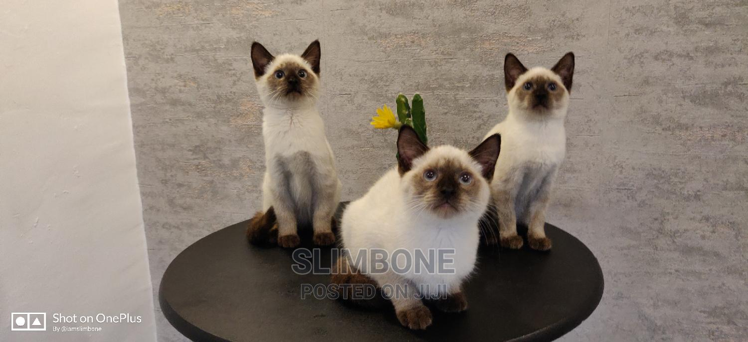 1-3 Month Female Purebred Siamese   Cats & Kittens for sale in Ikeja, Lagos State, Nigeria