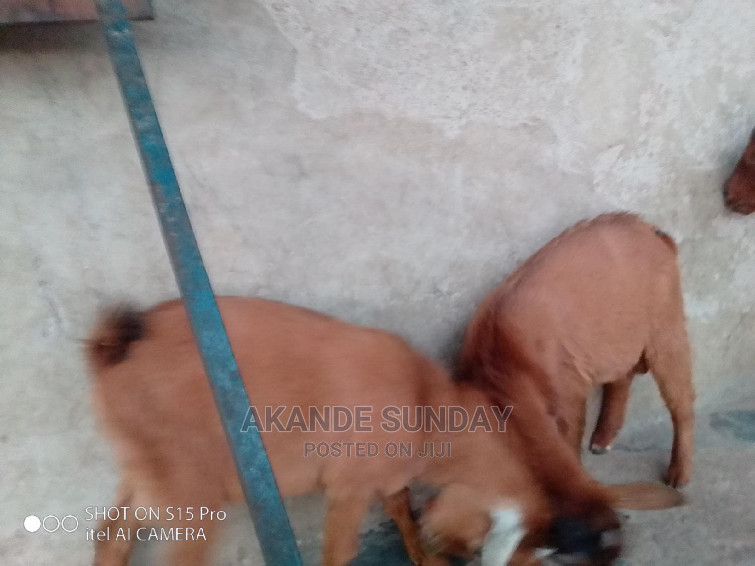 Male Goats for Sale   Livestock & Poultry for sale in Ifo, Ogun State, Nigeria