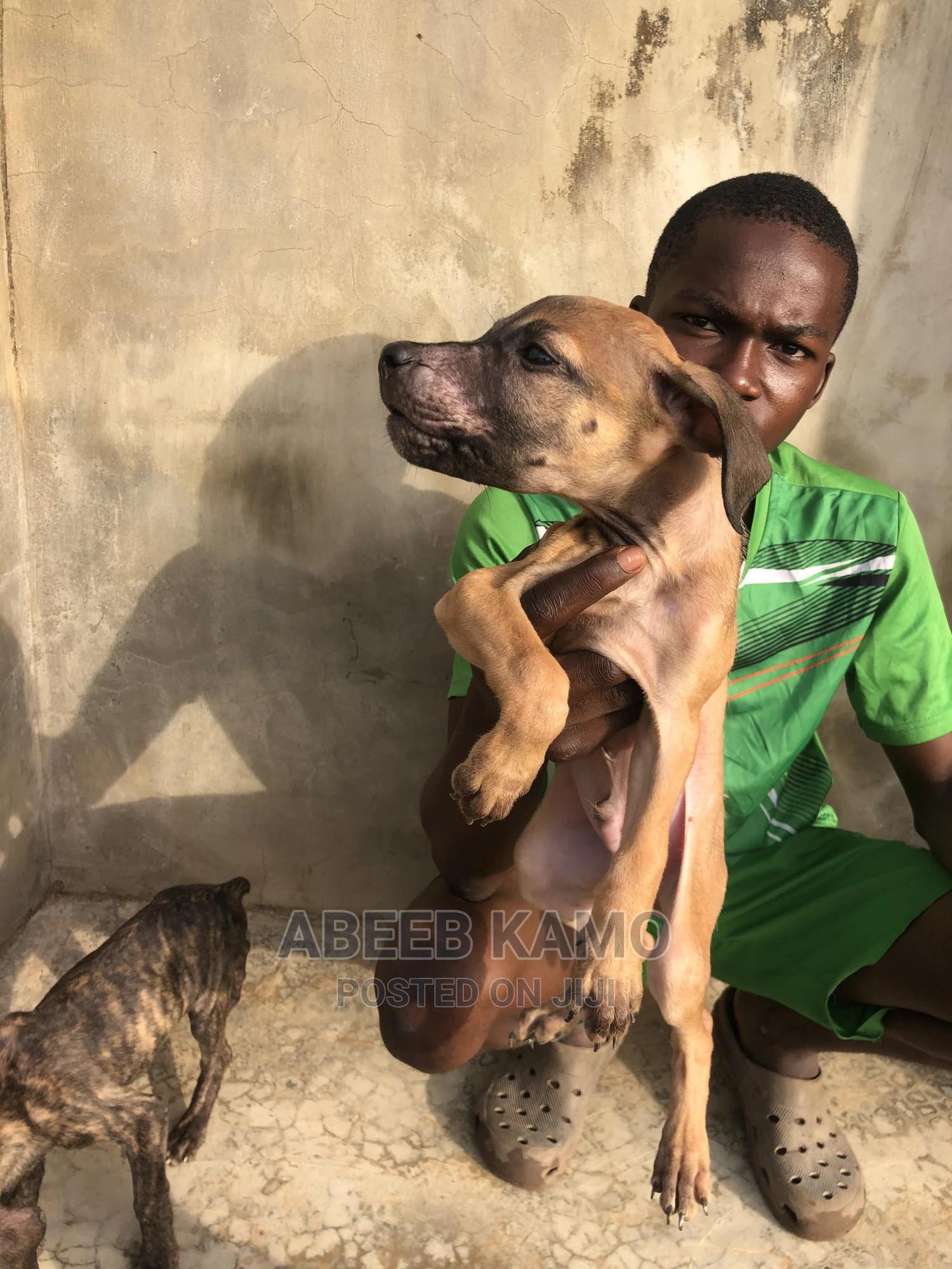 1-3 Month Male Purebred Boerboel | Dogs & Puppies for sale in Lagelu, Oyo State, Nigeria
