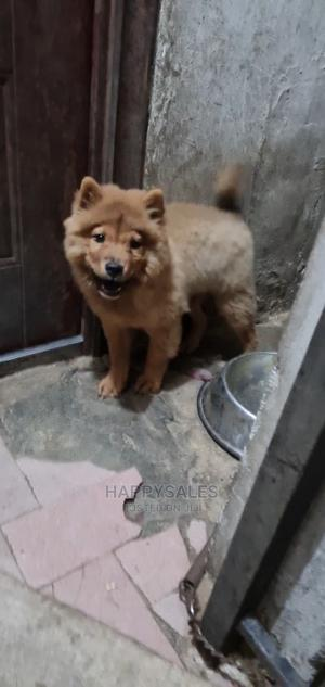 1-3 Month Female Purebred Chow Chow | Dogs & Puppies for sale in Lagos State, Surulere