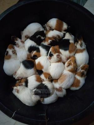 Guinea Pigs | Other Animals for sale in Lagos State, Isolo